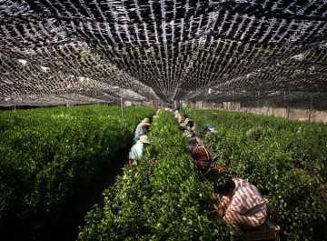 zacieniona plantacja zielonej herbaty w Japonii